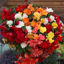 Begonia Illumination Mixed (10)