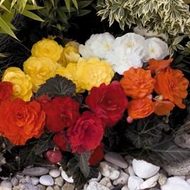 Begonia Nonstop Mocca (10)