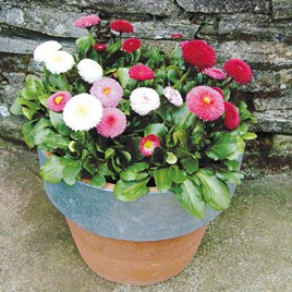 Bellis Potted Plants - Spring Star Mix