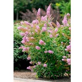 Buddleja Flutterby Pink 3LTR