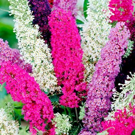 Buddleia Seeds - Butterfly Magnet Mix