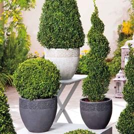 Box Ball Plants