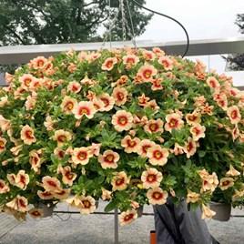 Calibrachoa Plants - Orange Red Eye