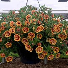 Calibrachoa Plants - Double Orange Red Eye