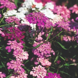Candytuft Seeds - Fairy Mix