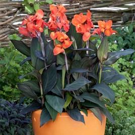 Canna Plant - Cannova Bronze Orange