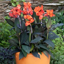 Canna Plant - Cannova Bronze Orange