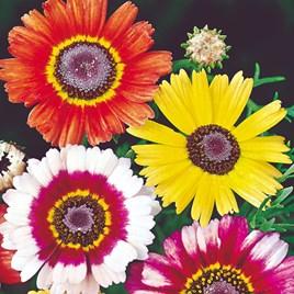 Chrysanthemum carinatum Seeds - Sunshine Mix