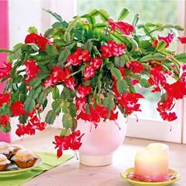 Christmas Cactus Schlumbergia Red