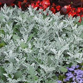 Cineraria Plants - Silverdust