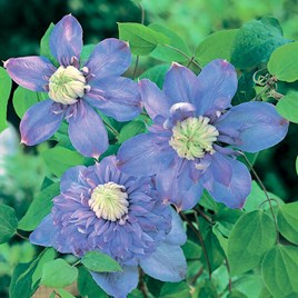 Clematis Plant - Blue Light