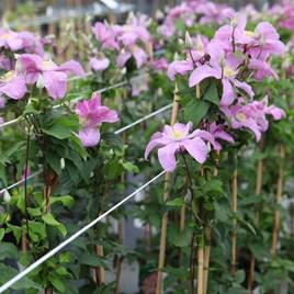 Clematis Plant -  Comtesse de Bouchaud