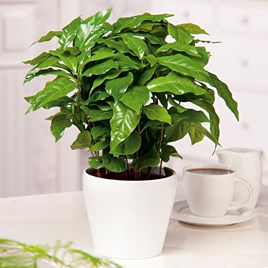 Houseplant Seeds - Barista