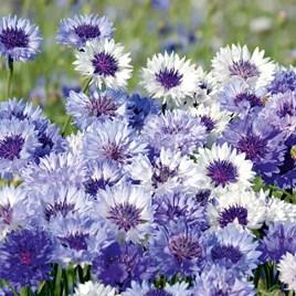 Cornflower Seeds - Classic Fantastic