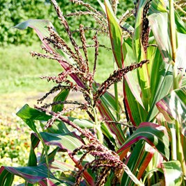 Prairie Seeds - Ornamental Corn Japonica