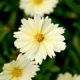 Coreopsis Uptick Cream