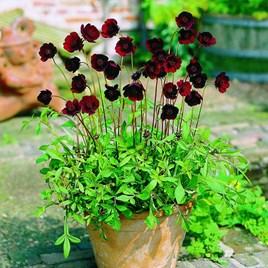 Cosmos Plants - Choca Mocha