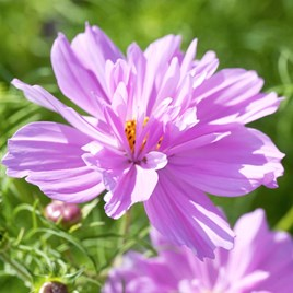 Cosmos Seeds - Fizzy Pink