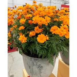 Cosmos Plants - Mandarin