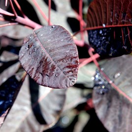 Cotinus Plant - Grace