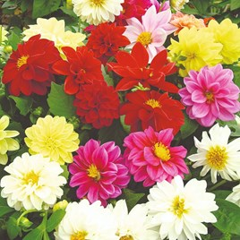 Dahlia Plants - Delight Mix