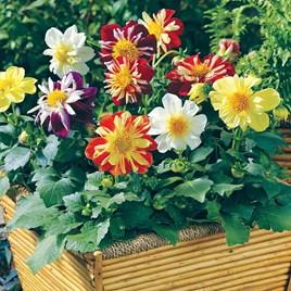 Dahlia Plants - Harlequin Mix