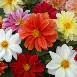 Dahlia Plants - Figaro Mix