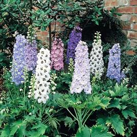 Delphinium Plants - Magic Fountains