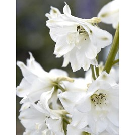Delphinium Plant - Magic Fountains Pure White