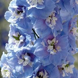 Delphinium Plant - Magic Fountains Sky Blue White Bee