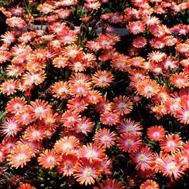 Delosperma Plants - Jewle of the Desert Sunstone