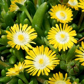 Delosperma Plant - Jewel of the Desert Peridot