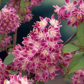 Deutzia hybrida 'Strawberry Fields'