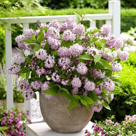 Deutzia 'Raspberry Sundae'®