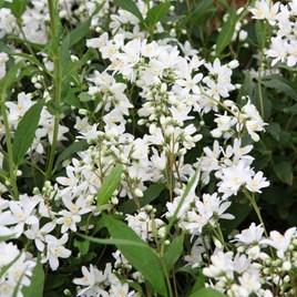 Deutzia Plant - YUKI SNOWFLAKE Proven Winners®