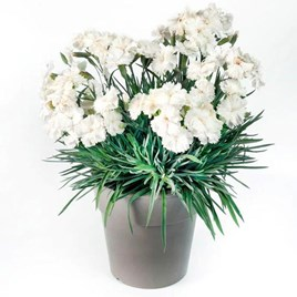 Dianthus Scent From Heaven Plant - Angel Of Purity 2Ltr