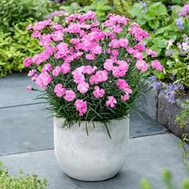 Dianthus Plant - Dinetta Pink