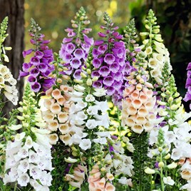 Digitalis Plants - Dalmatian Mix