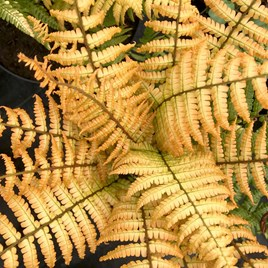 Dryopteris wallichiana Potted Plant - Jurassic gold
