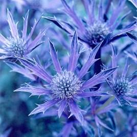 Eryngium Plant - Picos Amethyst