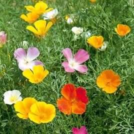 Poppy Californian Seeds - Vivid Mix