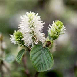 Fothergilla major 'Blue Shadow'®