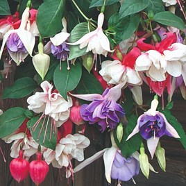 Fuchsia Plants - Trailing Mix