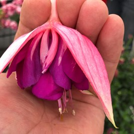 Fuchsia G.F. Taffeta Bow