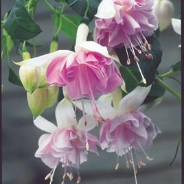 Fuchsia Holly's Beauty (6)
