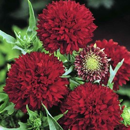 Gaillardia Seeds - Red Plume