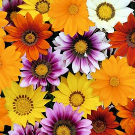 Gazania Potted Plant - Daybreak Mix