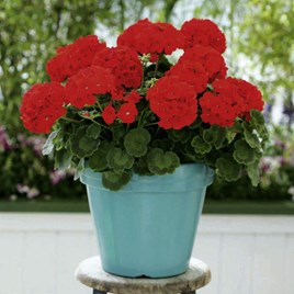Geranium Plants - Palladium Red