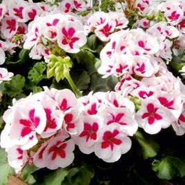 Geranium Plants - White Splash