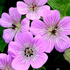 Geranium Plants - Bloomtime